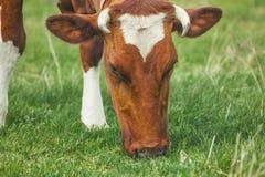 棕色颜色一头幼小有角的母牛在草甸说谎 免版税库存图片