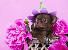 棕色颜色奇瓦瓦狗小狗在帽子的开花 免版税库存照片