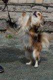棕色颜色奇瓦瓦狗狗  在后腿的立场,特写镜头 库存照片