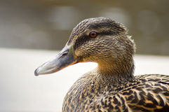 棕色颜色鸭子在银行的 免版税图库摄影
