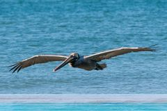 棕色飞行鹈鹕 库存照片