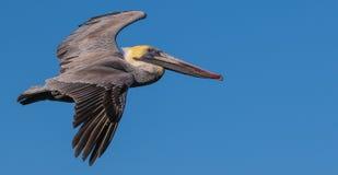 棕色飞行鹈鹕 库存图片