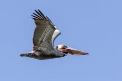 棕色飞行鹈鹕 免版税图库摄影