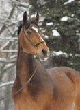 棕色马冬天 库存照片