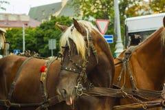 棕色马画象与桃红色舌头的 免版税库存图片