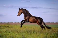 年轻棕色马疾驰,跳跃在领域 免版税库存照片
