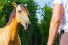 棕色马看给女骑士 免版税库存图片