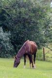 棕色马红色 库存图片