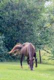 棕色马红色 库存照片