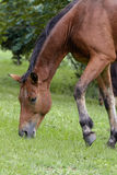 棕色马红色 免版税图库摄影