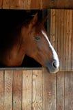 棕色马纵向 图库摄影
