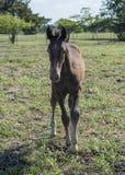 年轻棕色马驹身分 免版税库存图片