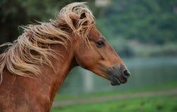 头棕色马(美丽的鬃毛) 图库摄影