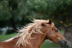 头棕色马(美丽的鬃毛) 免版税库存图片