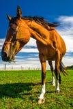 棕色马画象在德国 免版税库存照片