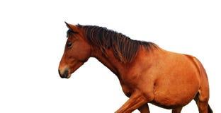 棕色马 免版税图库摄影