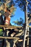 棕色驴画象  免版税图库摄影