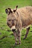 棕色驴轻的查找的草甸 库存照片