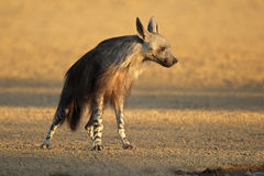 棕色鬣狗 免版税库存照片