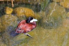 棕色鸭子游泳在水中 库存照片