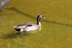 棕色鸭子游泳在水中 免版税库存图片