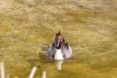 棕色鸭子游泳在水中 库存图片
