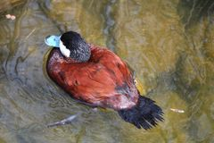 棕色鸭子游泳在水中 图库摄影
