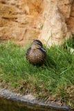 棕色鸭子野鸭 免版税库存照片