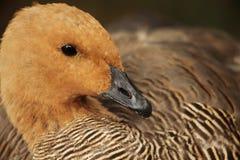 棕色鸭子 库存照片