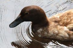 棕色鸭子 免版税库存图片