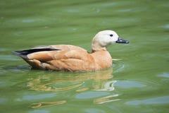 棕色鸭子 库存图片