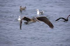 棕色鹈鹕的飞行 库存图片