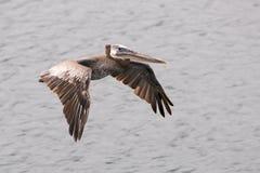棕色鹈鹕腾飞在海洋水。 免版税库存照片