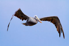 棕色鹈鹕飞过 免版税库存图片