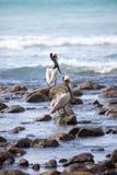 棕色鹈鹕 免版税图库摄影
