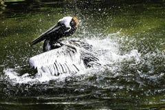 棕色鹈鹕 库存照片