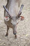 棕色鹿头在热带 库存图片