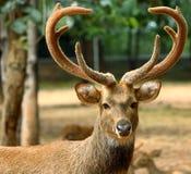 棕色鹿 免版税库存照片