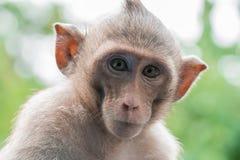 棕色猴子画象  免版税库存照片