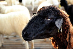 布朗绵羊 库存图片