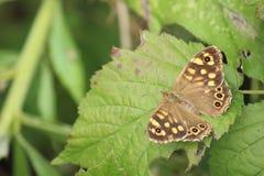棕色蝴蝶查出的白色 免版税库存图片