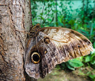棕色蝴蝶查出的白色 图库摄影