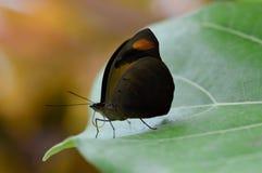 棕色蝴蝶查出的白色 免版税库存照片