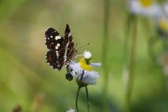 棕色蝴蝶查出的白色 库存照片