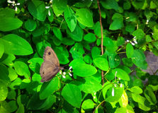 棕色蝴蝶查出的白色 免版税图库摄影