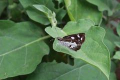 棕色蝴蝶黑暗 免版税图库摄影