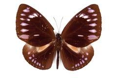 棕色蝴蝶euploea查出westwoodi 库存图片
