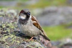 棕色麻雀坐石头 免版税图库摄影