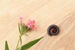 棕色cardboa的芬芳桃红色巴拿马罗斯和盘绕的千足虫 免版税库存图片
