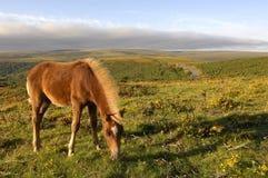 棕色dartmoor小马 免版税图库摄影
